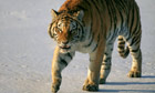 China reports rise in humans encountering wild Siberian tigers | World news