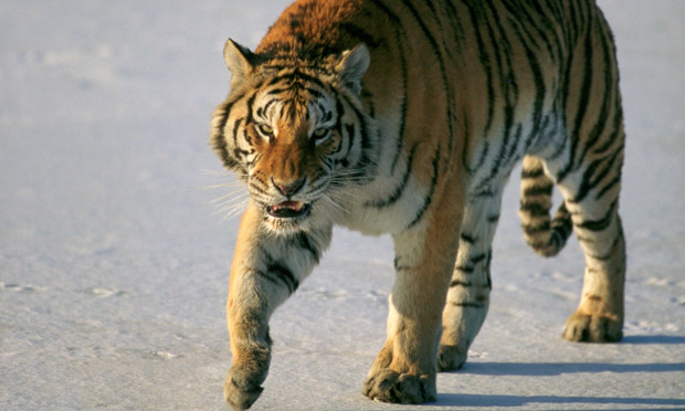 poaching siberian tiger Ttiger poaching - tiger's eyes , organs and even tiger penis are sought by poachers.