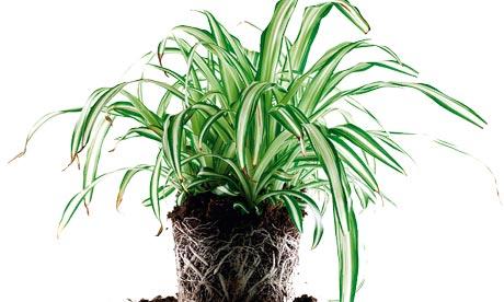 Ask Alys: spider plant