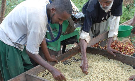Coffee farmers sort through beans
