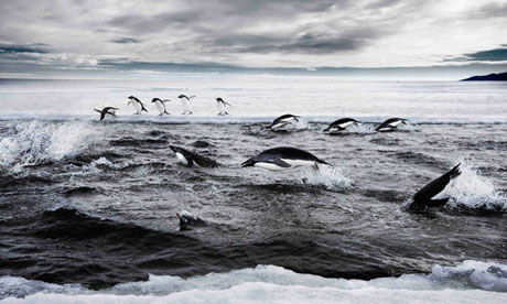 Penguins in the Ross Sea, off Antarctica
