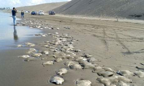 Hundreds of Stingrays wash up in Veracruz, Mexico