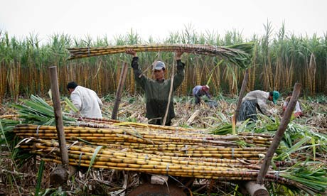 A worker loads sugarcanes onto an ox-cart at a farm in Kandal province Cambodia.