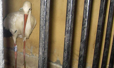 A stork is held in a police stat