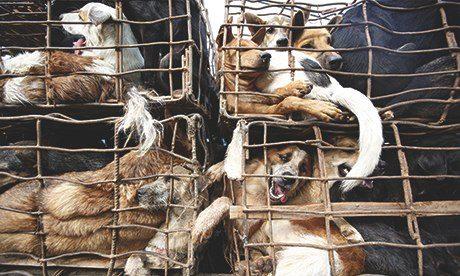 [Imagem: Thailands-Illegal-Dog-Mea-009.jpg]