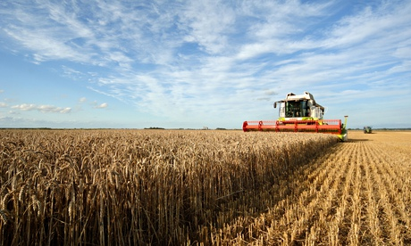 Wheat harvest, Norfolk fens