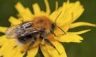A Tree Bumblebee - Bombus hypnorum, resting on a hawkbit flower.