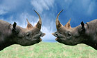 Black Rhinoceroses Looking at Each Other. Two were flown from the UK to Tanzania