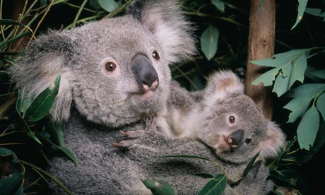 http://static.guim.co.uk/sys-images/Guardian/Pix/GWeekly/2011/6/14/1308048596644/koala-cub-006.jpg