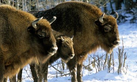 European Bison Range