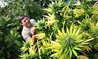 Jim Hill in his greenhouse growing medical marijuana