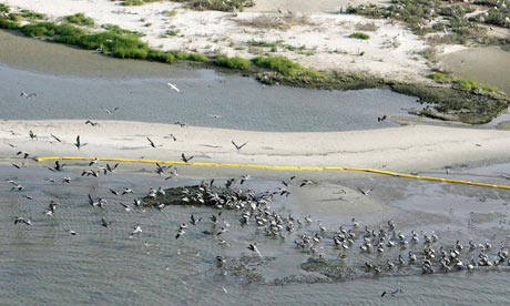 Birds are surrounded by oil booms on Breton Sound Island