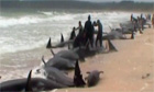 Stranded pilot whales in northern New Zealand
