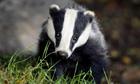 Badger in wild