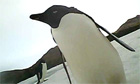Penguin cam shows birds e 003 - Emperor Penguin Swim 2000 miles to New Zeland