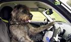 A New Zealand dog drives a car