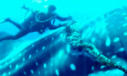 Diver cuts rope from whale shark in Mexico