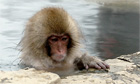 A Japanese Snow Monkey bathing in the water
