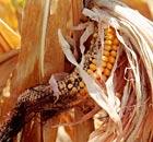 Indiana, drought, corn