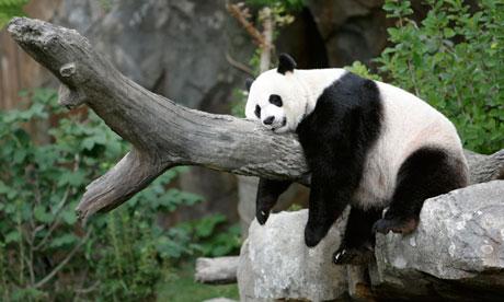 Giant-panda-Mei-Xiang-tak-010.jpg