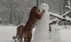 Amur tigers at Longleat Safari Park