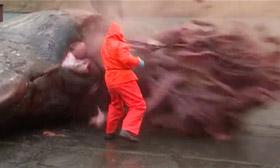Sperm whale explodes