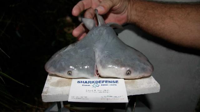 Two-Headed Bull Shark