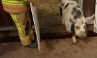 Pig teaches firefighters to herd animals – video