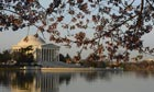 Cherry blossom at the Thomas Jefferson Memorial Library