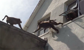 Baboons invade a house in South Africa