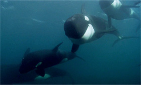 Still of killer whales from the documentary Blackfish