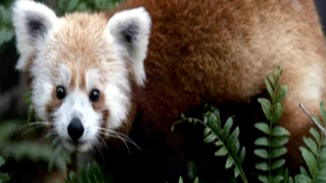 Red panda found after escaping from Washington's National zoo - video