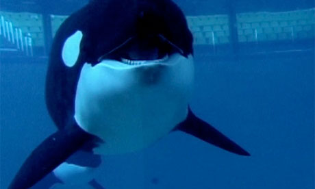 Still from Blackfish, a documentary about killer whales in captivity