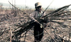Boy working in sugarcane field