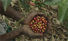 Climate smart coffee farming in Uganda