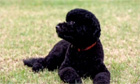 Portugese Water Dog: Obama family unveil new puppy called 'Sunny' - video