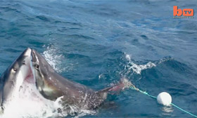 Great white sharks attack each other