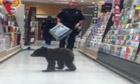 Bear cub browsing Oregon supermarket