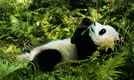 A giant panda lying in bamboo