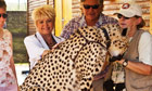 Gloria meets Hemingway, a cheetah that is being raised at Spier as part of a conservation effort
