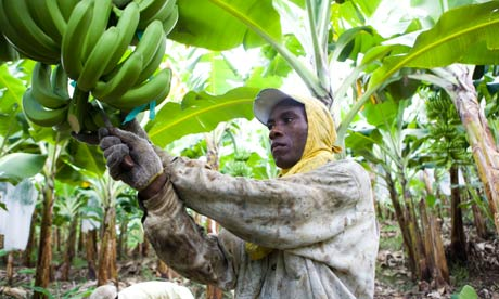 Fair trade banana farmer, Dominican Republic.