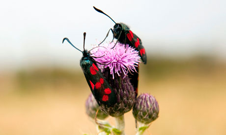 Burnet moths discuss pollen quality, Llyn peninsula