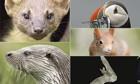 Pine marten, puffin, red squirrel, bat, otter