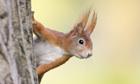 Banrock: Eurasian Red Squirrel -Sciurus vulgaris-, half-hidden behind a tree trunk
