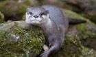 Oriental Small-clawed Otter (Aonyx cinerea) lying on rocks