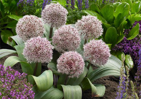 alliums - guardianoffers - promo