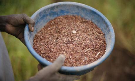 Katine GM crops 2
