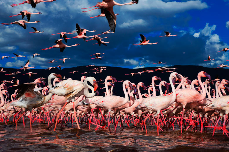 A flock of lesser flamingos gather at Lake Bogoria in Kenyad
