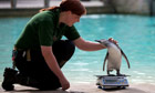 A zookeeper strokes a penguin on a scale during the annual weigh-in at London Zoo