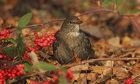 Country Diary: Blackbird next to cotoneaster bush